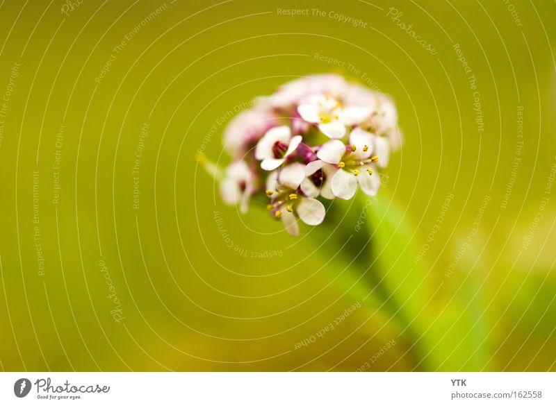 Blüten-strauß Freude Umwelt Natur Pflanze Frühling Sommer Blume Sträucher Blatt Garten Park Wiese grün violett Einsamkeit Botanik Blumenstrauß zart fein