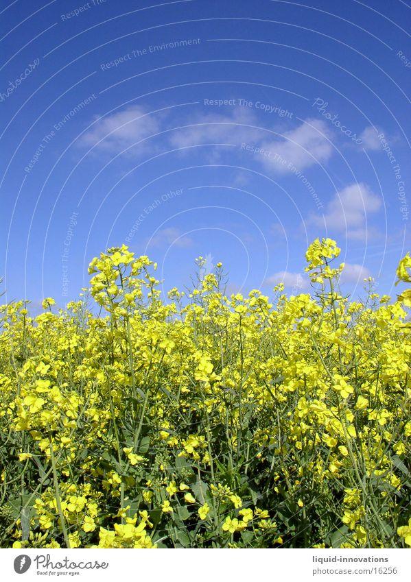 Rapsfeld im Mai II Wolken gelb Horizont Frühling Raps. Rapsfeld Himmel