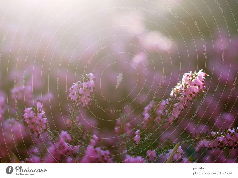 Schneeheide Natur Sonne Blume Pflanze Blüte Frühling hell violett Kitsch Duft Botanik Himmelskörper & Weltall fluten Heidekrautgewächse
