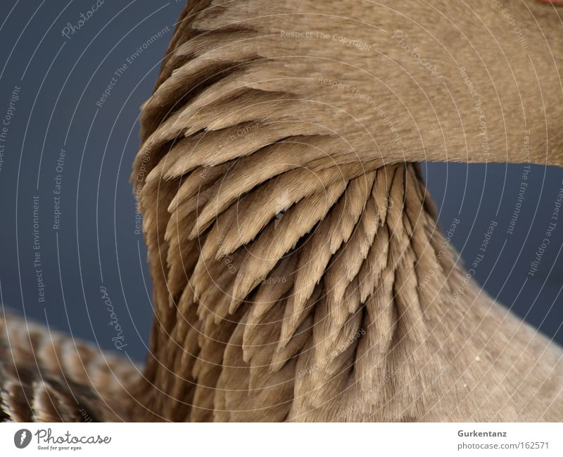 Trockener Hals schön Tier Park Vogel Hintergrundbild Makroaufnahme Feder Gans Bildschirmschoner Graugans