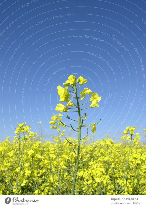 Rapsfeld im Mai III Himmel Wolken gelb Blüte Frühling Horizont Rapsblüte