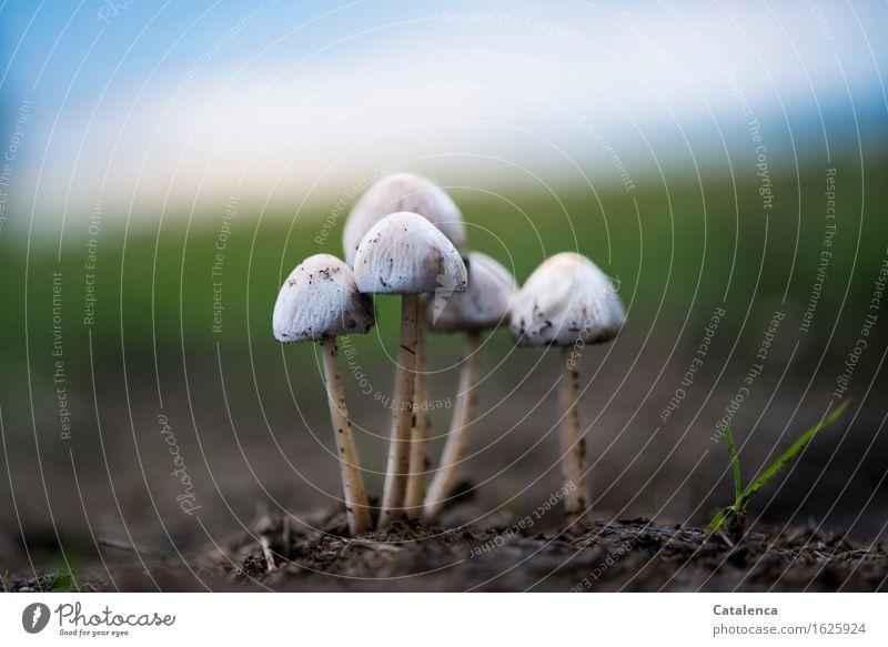 Pilze im Abendlicht II Umwelt Natur Erde Luft Wolkenloser Himmel Herbst Schönes Wetter Wiese Feld Wald leuchten dehydrieren Wachstum ästhetisch bedrohlich