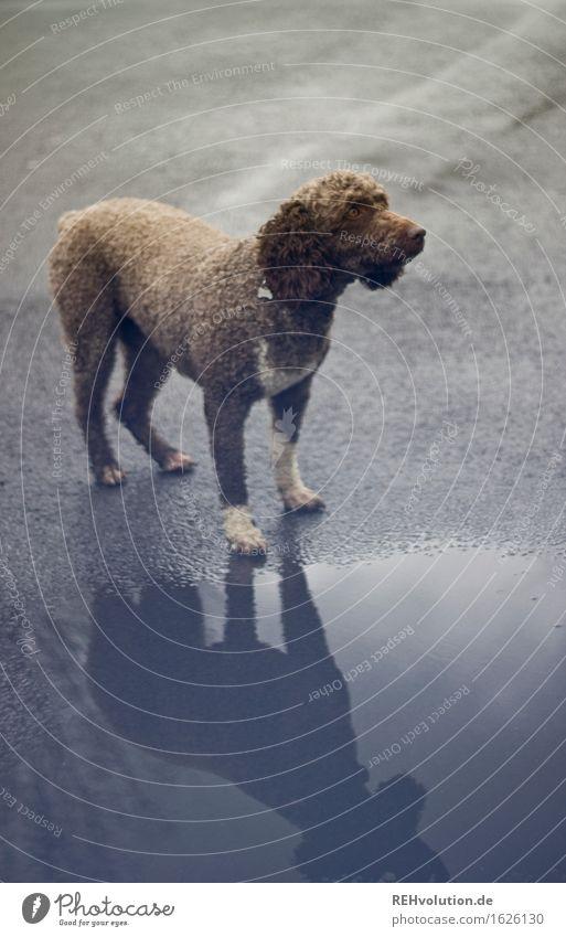 fritze Tier Haustier Hund 1 stehen nass braun grau Freundschaft Locken Asphalt Straße Pfütze Farbfoto Gedeckte Farben Außenaufnahme Menschenleer