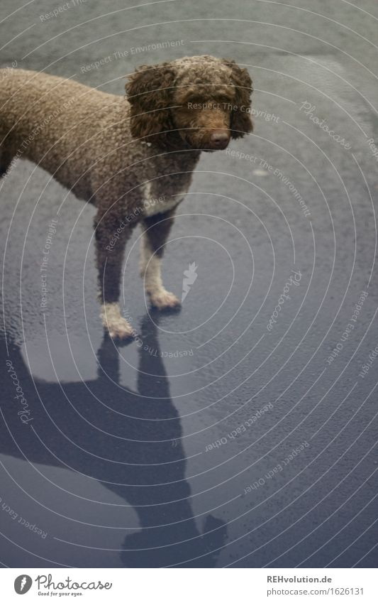 Fritzi 2 Hund Tier Straße Regen stehen warten Asphalt Haustier Locken Pfütze