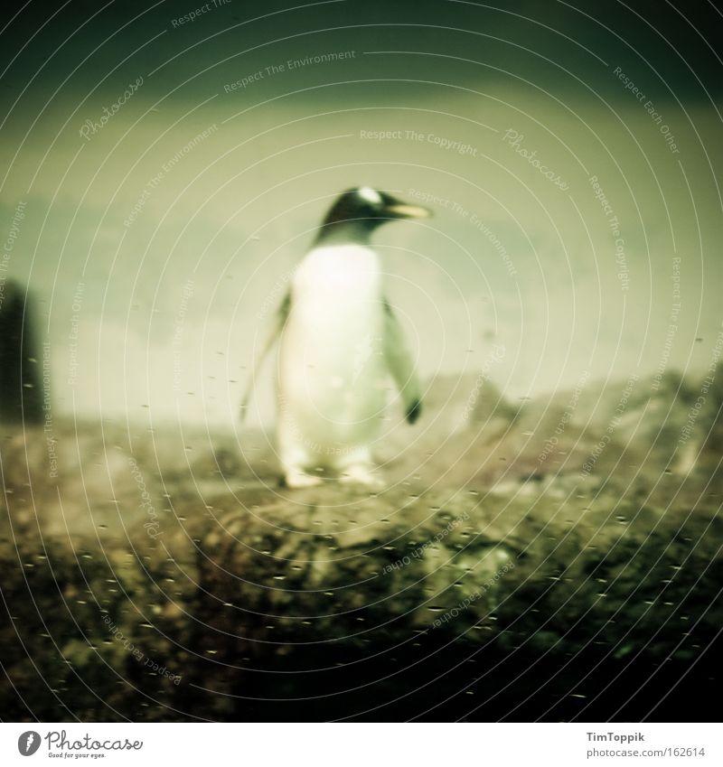 Checker Pinguin Zoo Tiergarten Kaiserpinguine Suche Einsamkeit Partnersuche Single Flosse Säugetier Langeweile Meer umgucken