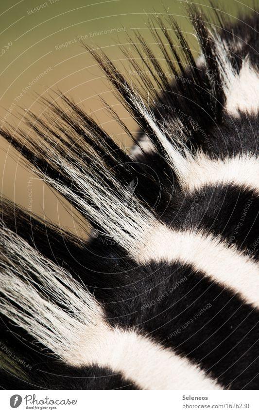 Punk Ferien & Urlaub & Reisen Tourismus Safari Expedition Umwelt Natur Tier Wildtier Fell Zebra Zebrastreifen 1 nah natürlich Südafrika Farbfoto Außenaufnahme