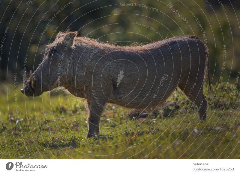 Pumba Natur Ferien & Urlaub & Reisen Sommer Tier Umwelt Wiese natürlich Gras Tourismus Wildtier Ausflug beobachten Schönes Wetter Tiergesicht Safari Tierliebe