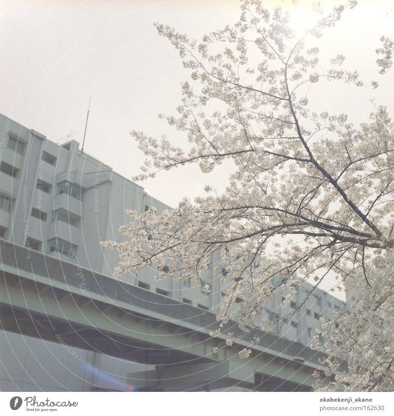 Sakura #2 Tokyo Schererei Quadrat Filmindustrie Luft Japan Stimmungsbild locker weiß rosa Kirschblüten Blume