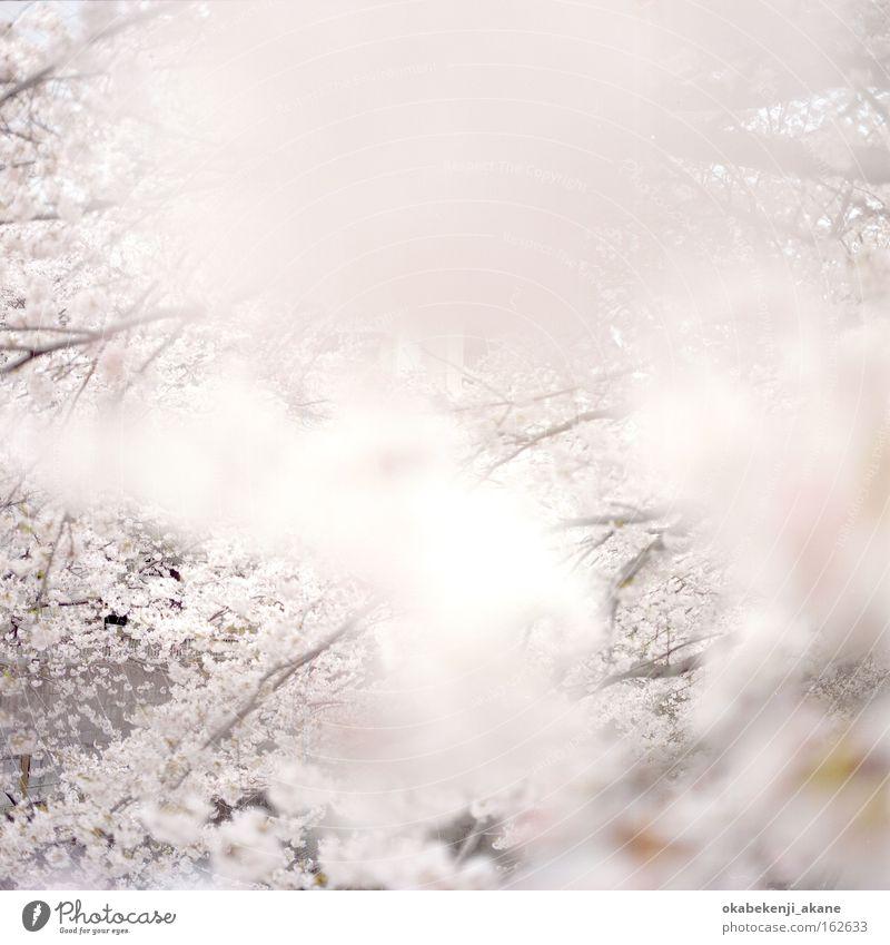 weiß Blume Luft rosa Filmindustrie Quadrat Japan Licht Tokyo Kirschblüten Stimmungsbild