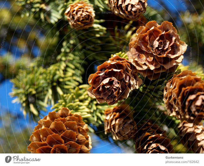 Frisch gezapft Zapfen Tanne Baum Detailaufnahme Makroaufnahme Kanada Natur Samen Ast Weihnachtsbaum Tannennadel schön