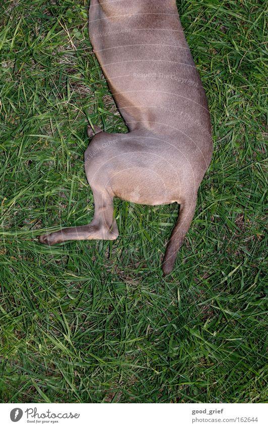 [DD|Apr|09] zwei drittel hund bitte. Wiese Hund Gras Fell Teile u. Stücke Dresden Teilung Pfote Säugetier Schwanz Elbe