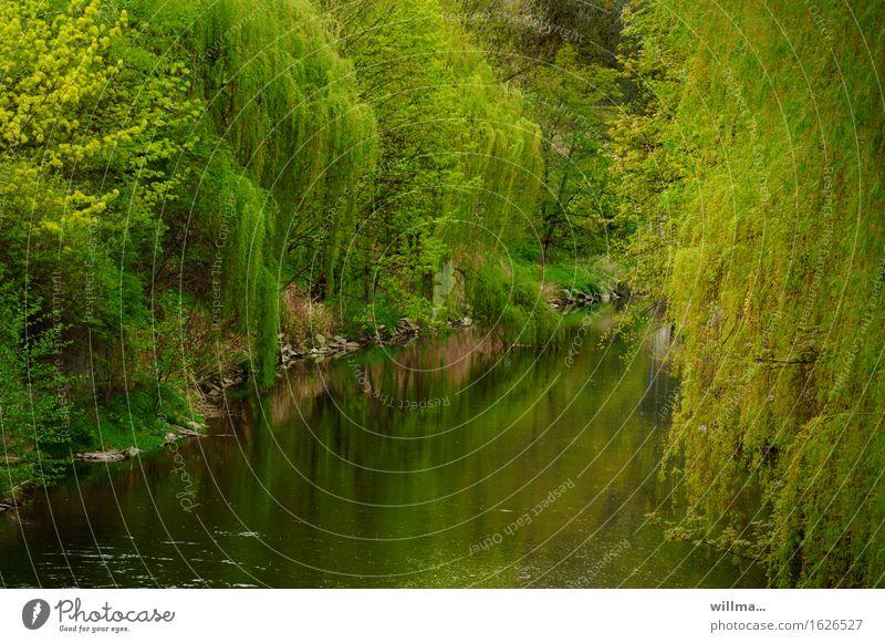 der verflossene Pflanze Frühling Baum Weide Trauerweide Flussufer grün Reflexion & Spiegelung Idylle üppig (Wuchs) Natur natürlich Mai Farbfoto Außenaufnahme