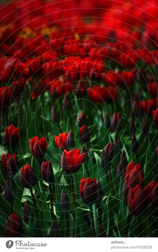 Tulpenfeld Frühling grün rot Natur Pflanze Tulpenknospe Tulpenblüte Farbfoto Außenaufnahme