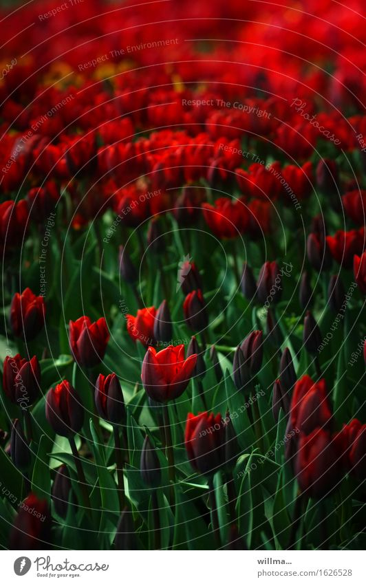 tulpenfeld... Natur Pflanze grün rot Frühling Tulpe Tulpenfeld Tulpenblüte Tulpenknospe