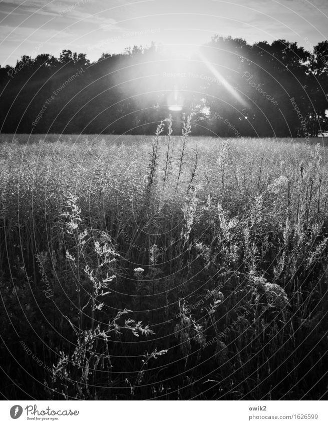 s/w | Wald- und Wiesenfoto Umwelt Natur Landschaft Pflanze Himmel Klima Schönes Wetter Baum Gras Sträucher Nutzpflanze Wildpflanze Feld leuchten hell Hoffnung