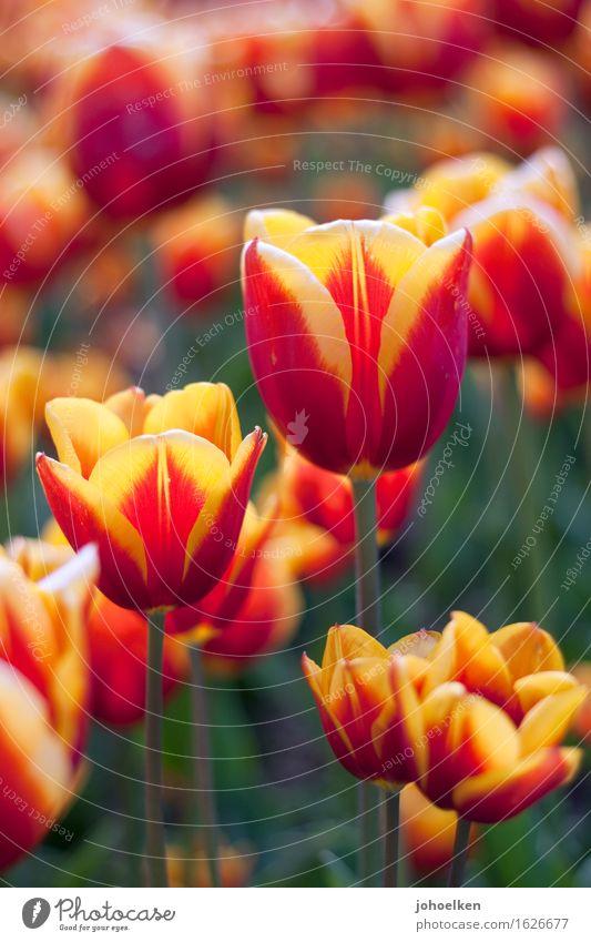 netstat -tulpn Umwelt Pflanze Sonnenlicht Frühling Blume Tulpe Blüte Tulipa Garten Park Beet Blühend Wachstum Duft gelb orange rot Erotik Farbe Liebe