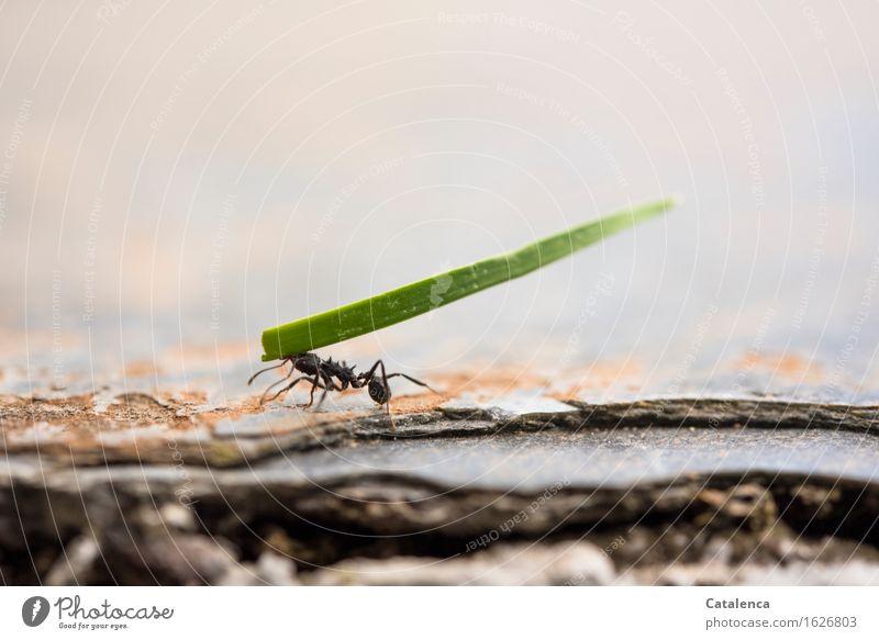 Anschaffen Natur Pflanze grün Tier schwarz Gras außergewöhnlich Garten Zusammensein Arbeit & Erwerbstätigkeit Kraft Wildtier Erfolg Zusammenhalt stark Insekt