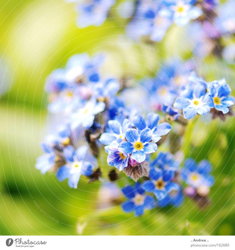 Frühlinsbote Nr. 3 Sonne Pflanze Frühling Blume Blüte Wiese Blühend springen Wachstum Fröhlichkeit frisch blau grün Natur Umwelt Vergißmeinnicht Frühblüher