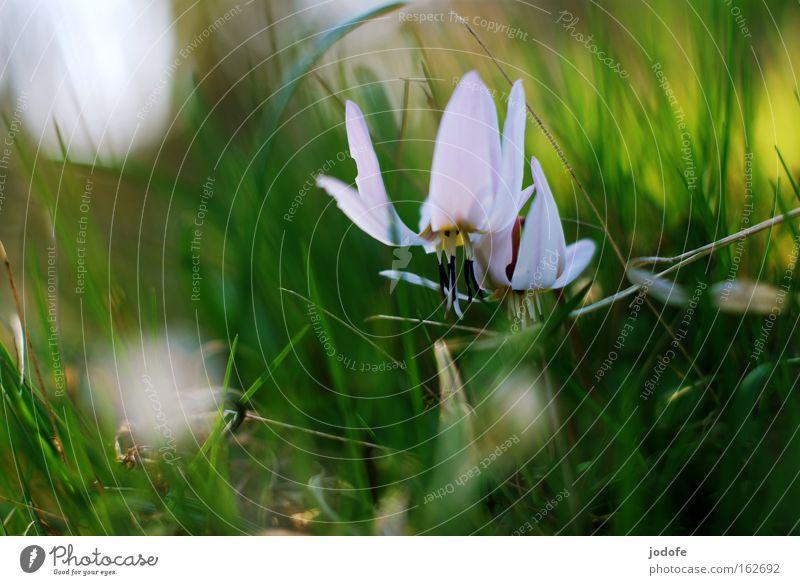 la plante blanche Blume Pflanze Blüte weiß grün Gras Natur Botanik Blütenblatt Blütenstempel Frühling Blühend Wachstum schön