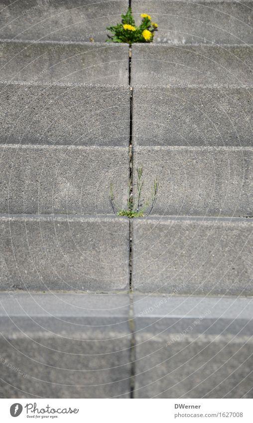 Mauerblümchen Expedition Sonne Natur Pflanze Frühling Schönes Wetter Blume Blüte Grünpflanze Kleinstadt Bauwerk Treppe Stein Blühend Wachstum gelb grau Leben
