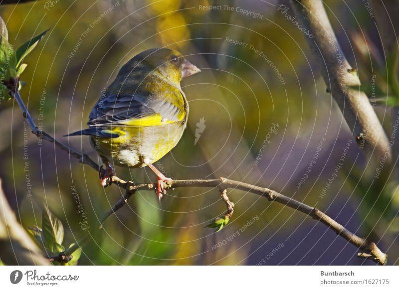Grünfink Natur Pflanze grün Baum Erholung Tier Umwelt gelb natürlich klein Vogel träumen Sträucher Schönes Wetter niedlich