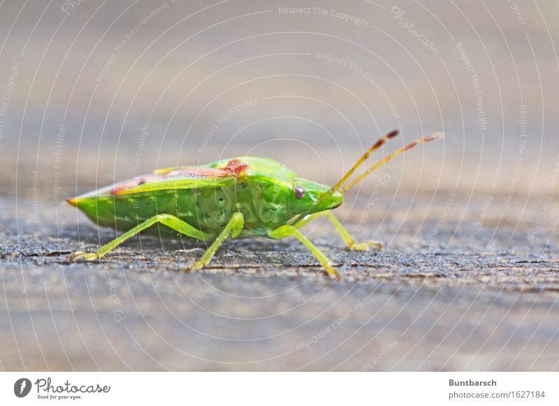Wanze Umwelt Natur Tier Käfer Insekt Gliederfüßer Sechsfüßer 1 Ekel braun grün Farbfoto Außenaufnahme Nahaufnahme Makroaufnahme Tierporträt