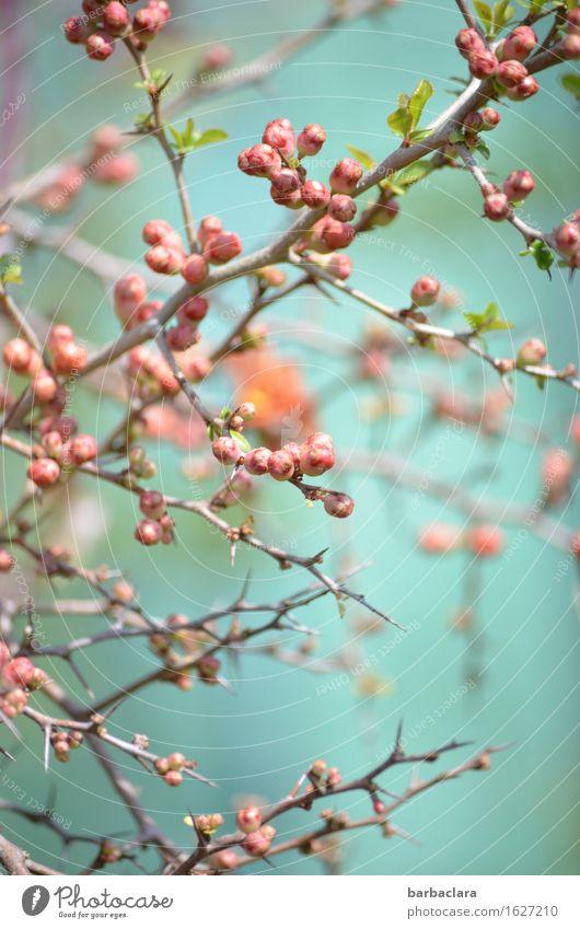 Quittenblüte Natur Pflanze Frühling Klima Sträucher Blüte Zierquitte Garten Blühend hell rosa türkis Stimmung Frühlingsgefühle Vorfreude Romantik ästhetisch