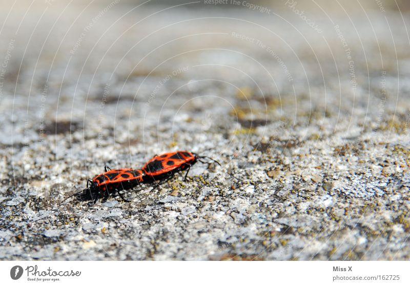 sex :-) Farbfoto Außenaufnahme Mauer Wand Käfer Stein Frühlingsgefühle Feuerwanze Insekt auf der mauer auf der lauer sitzt ne kleine wanze