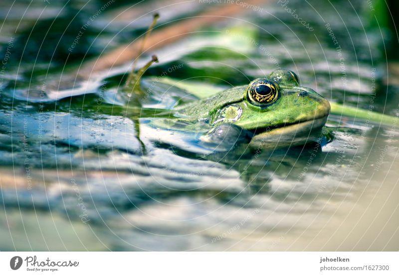 Quark! Wasser Garten Seeufer Tier Wildtier Frosch Wasserfrosch 1 glänzend grün Optimismus Märchen Froschkönig Quaken Teich Gartenteich Frühling Froschauge