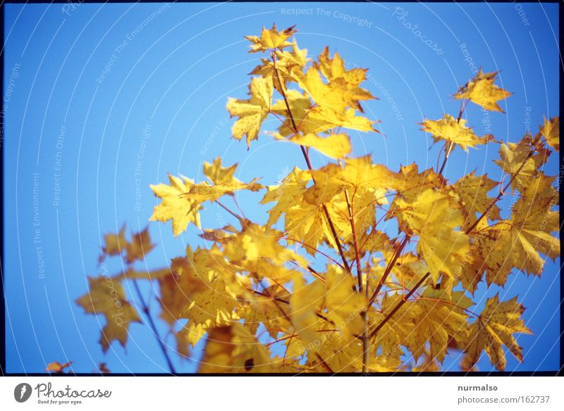 Antifrühling Baum Blatt Herbst Gefühle gold Sträucher Ast leuchten Vergangenheit Erinnerung intensiv verrotten Färbung Delikt Indian Summer