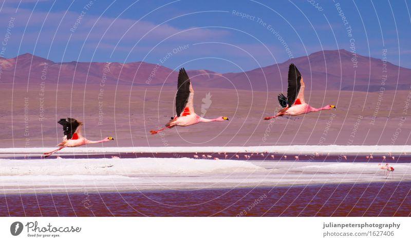 Flamingos, die über Laguna Colorada, Bolivien fliegen Natur Ferien & Urlaub & Reisen Farbe weiß Landschaft rot Tier Berge u. Gebirge Stil Menschengruppe See