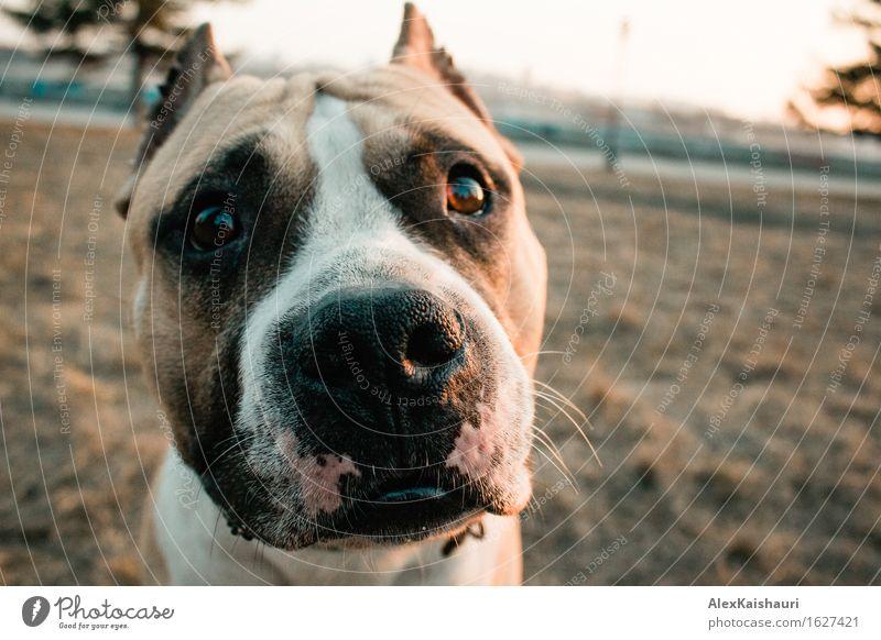 Netter Staffordshire-Terrierhund schaut zur Kamera. Lifestyle Umwelt Natur Landschaft Tier Frühling Sommer Gras Park Haustier Hund 1 Spielen authentisch schön