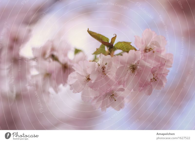 ::16-17:: Umwelt Natur Pflanze Frühling Sommer Klima Baum Blume Blatt Blüte Nutzpflanze Wildpflanze Garten Park ästhetisch Kirschblüten Kirschbaum Kirsche April
