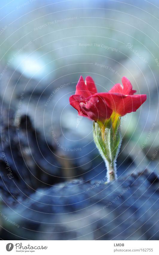 Niemals nicht aufgeben! Blume rot Blüte Frühling Erde Hoffnung Blühend vergessen Ausdauer Wiesenblume Müllhalde Kissen-Primel ungebeten