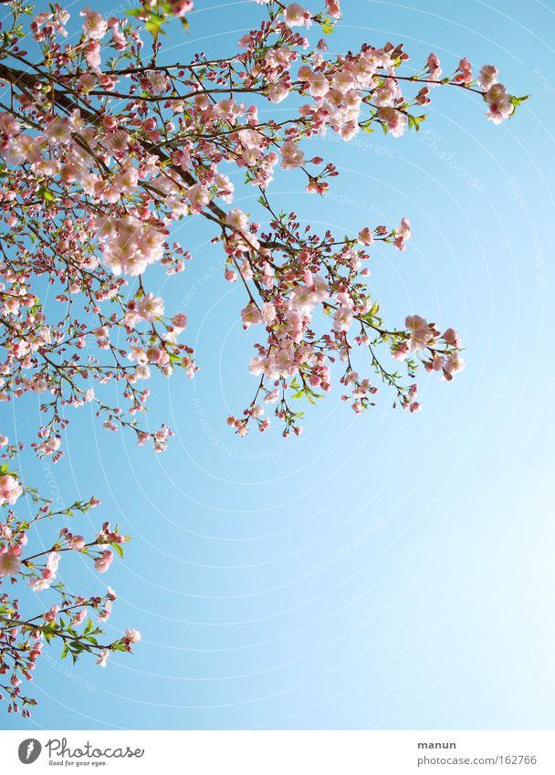 Cherrytree schön weiß blau Blüte Frühling Park Wärme rosa Hintergrundbild Wetter Ast Kirsche Gartenbau Kirschblüten Kirschbaum Zierkirsche
