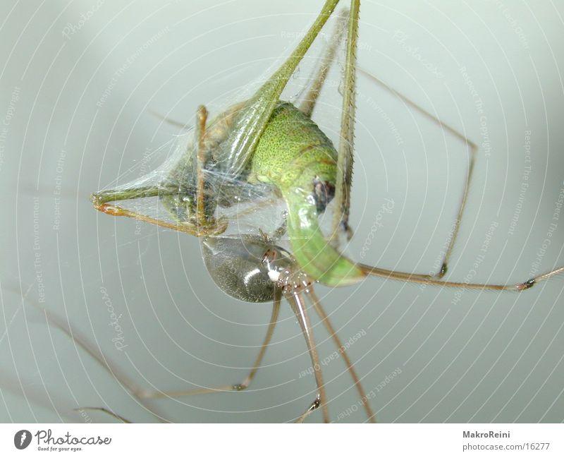 Mittagessen Spinne Heuschrecke Makroaufnahme Netz