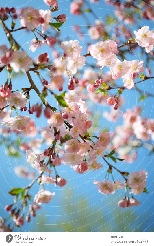 Cherryblossom Frühling Blüte Kirsche Kirschbaum Kirschbaumholz Zierkirsche Kirschblüten Wärme weiß rosa blau Wetter Ast Gartenbau Landschaft schön Park