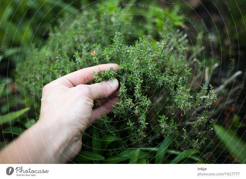 Thymian Kräuter & Gewürze Gartenarbeit Hand Sommer Nutzpflanze Kräutergarten berühren Duft frisch Gesundheit grün Sinnesorgane Versuch Farbfoto Außenaufnahme
