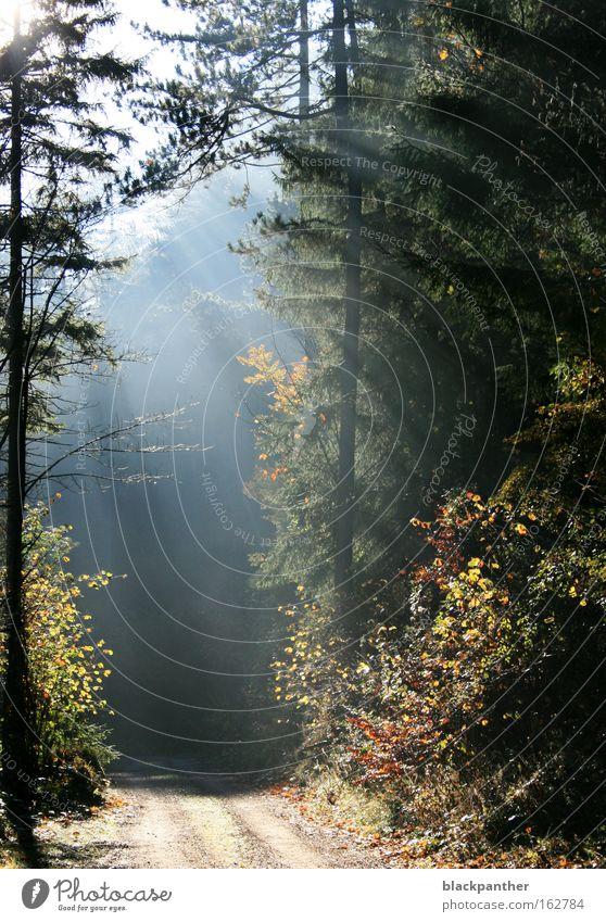 möge immer Licht auf meinen Wegen sein Lichtspiel Wege & Pfade Wald Baum Tanne Nebel Lichterscheinung Reaktionen u. Effekte