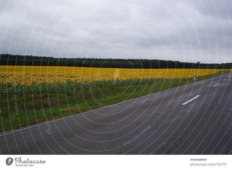 Sonnenblumenfeld Straße Farbe Feld