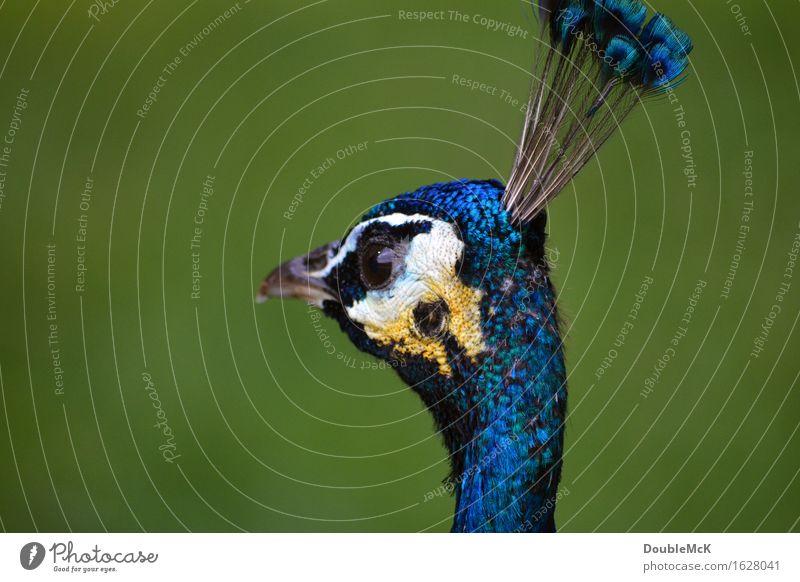 Blauer Pfau im Detail Tier 1 beobachten Denken Erholung stehen authentisch schön blau gelb grün weiß Zufriedenheit Gelassenheit geduldig ruhig elegant Farbfoto