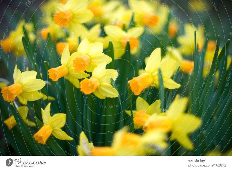 Frohe Ostern! Garten Muttertag Natur Pflanze Frühling Blume Blüte gelb grün Gelbe Narzisse Narzissen Frühblüher März April Osterei Farbfoto Außenaufnahme