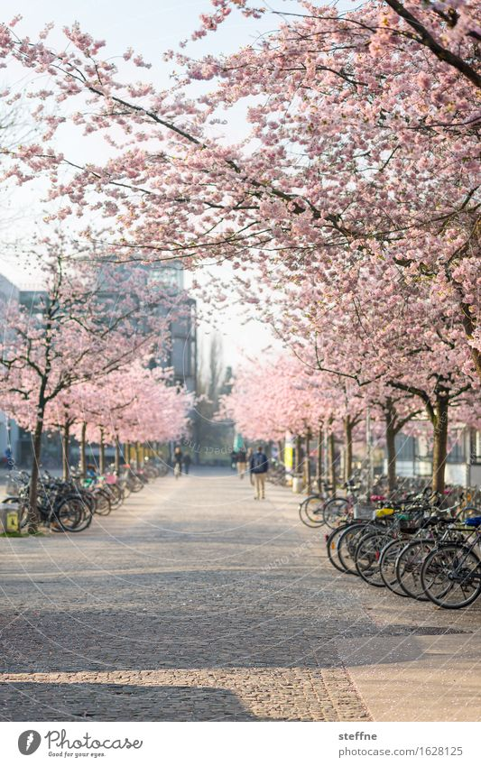 Was sein wird Natur Pflanze Frühling Baum schön japanische kirschblüte Kirschblüten Kirschblütenfest Göttingen Universität Göttingen Studium Farbfoto