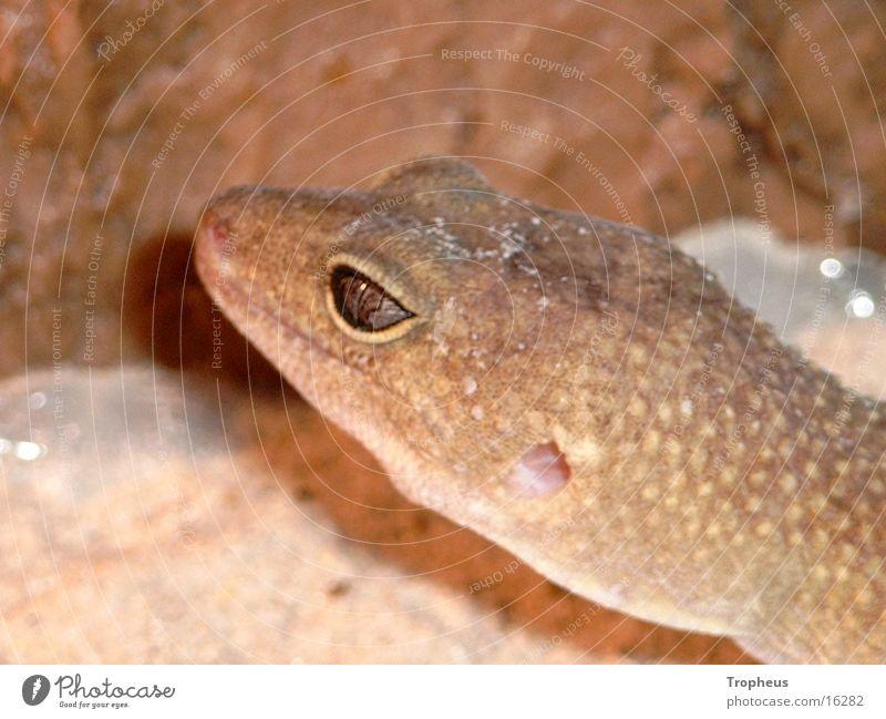 Cleo 2 Auge Klettern Terrarium Gecko