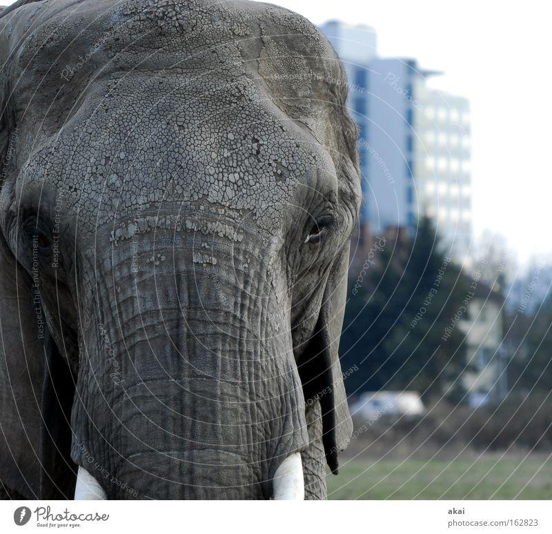 Osterhase Tier Elefant Wachsamkeit Kontrolle Vorsicht Blick Nahrungssuche klug Verkehr Wiese Rüssel Stoßzähne Vertrauen Macht Säugetier Haus akai