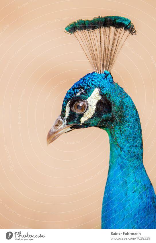 """Porträt von einem Blauen Pfau Umwelt Natur Tier Park Haustier 1 schön blau """"Porträt Indischer Pfau Krone Schönheit elegant edel"""" Farbfoto Außenaufnahme"""