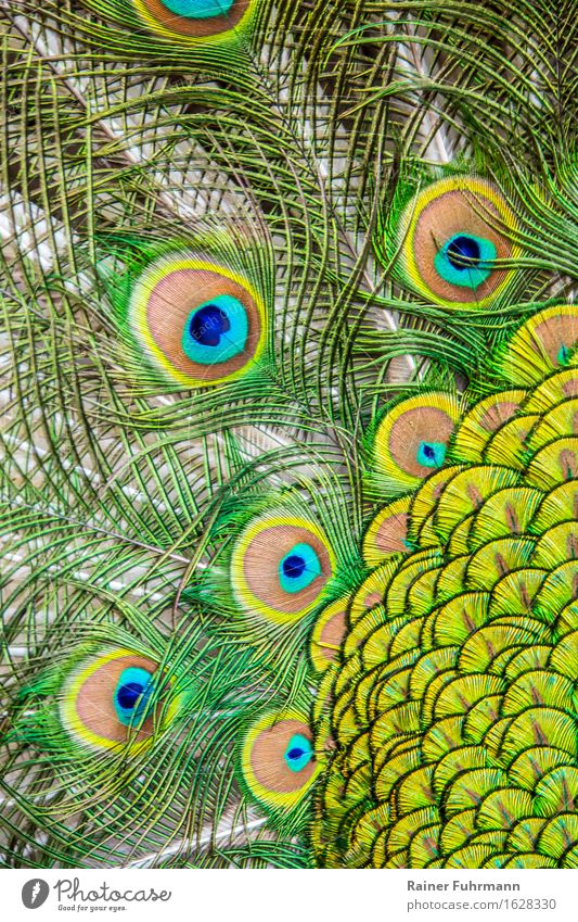 """ein radschlagender Pfau zeigt seine ganze Pracht Tier Vogel """"Pfau indischer Pfau"""" Gefühle Tierliebe Stolz träumen """"Pfauenfedern schillern bunt prächtig Detail"""""""