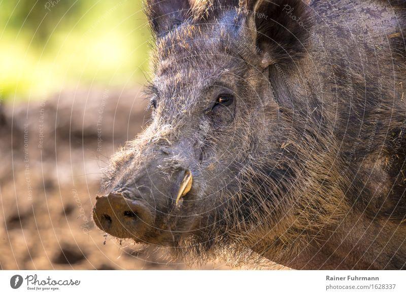 """Porträt von einem Wildschwein Natur Tier Wald Wildtier """"Wildschwein Schwein"""" 1 """"Sus scrofa Wildschweinporträt Keiler Hauer Achtung"""" Farbfoto Außenaufnahme"""