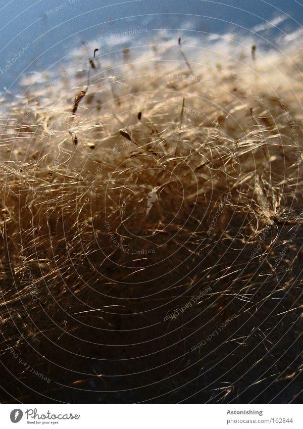 WIRR-WARR Natur Himmel weiß blau Pflanze Haare & Frisuren Linie Wind weich Schilfrohr Samen verbreiten