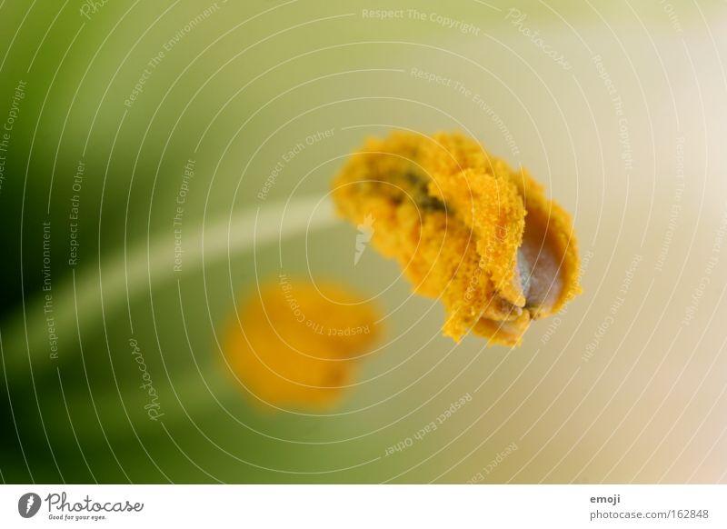 hatschi Natur grün Pflanze Blume gelb Frühling nah Staub Pollen Krankheit Pflanzenteile